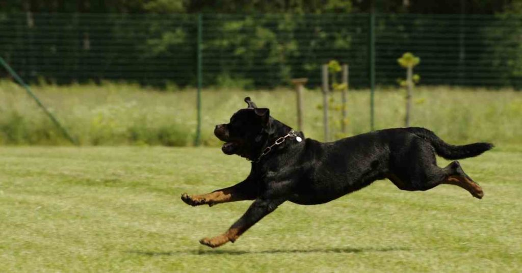 Guide On Rottie & Facts (4)