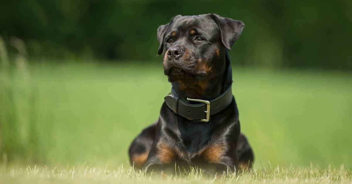 10 Reasons To Own A Rottweiler (1)