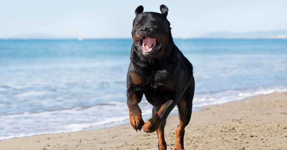 10 Reasons To Own A Rottweiler (2)