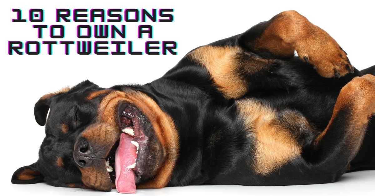 10 Reasons To Own A Rottweiler