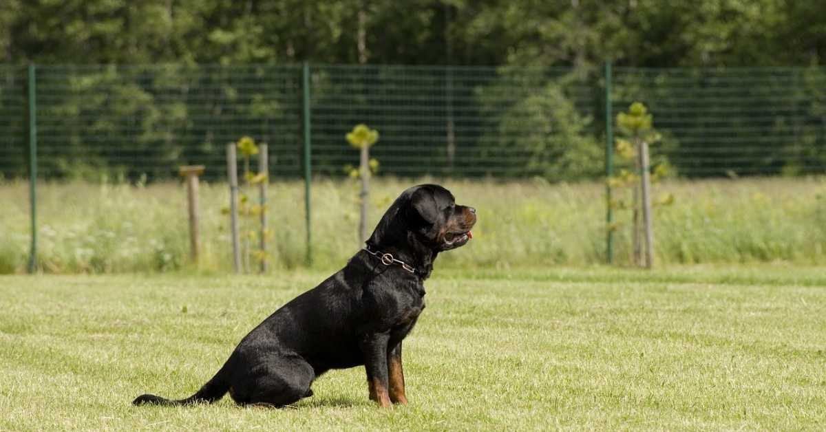 Teaching a Rottweiler How to Sit on Command