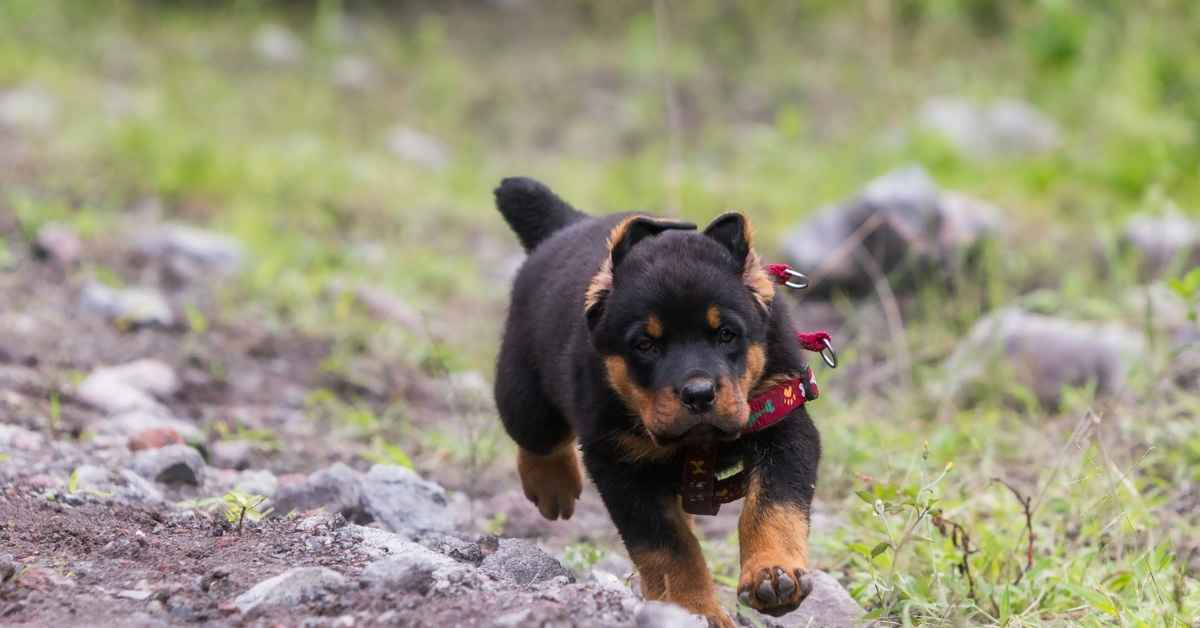 male rottweiler names